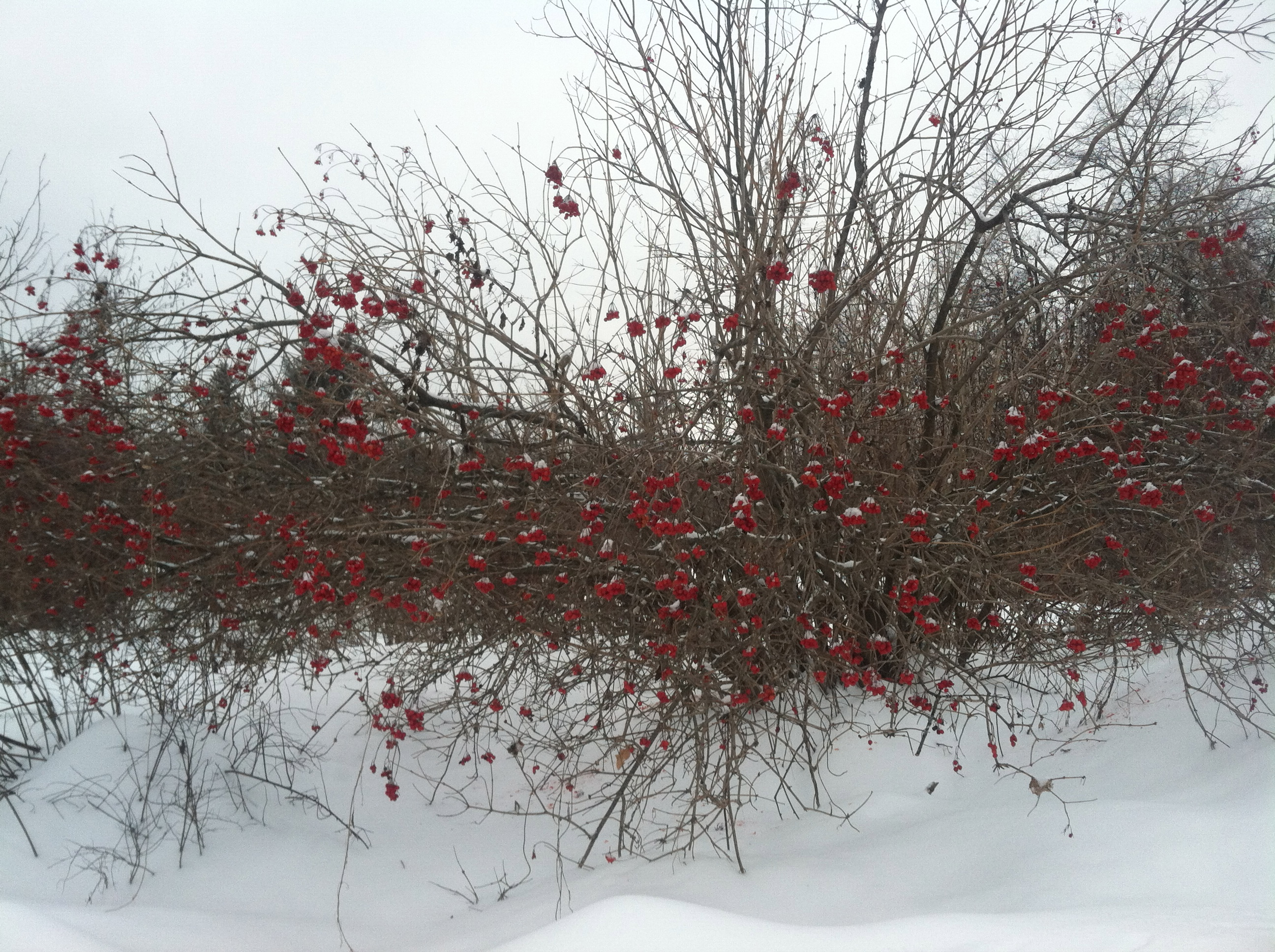 how to tell high bush cranberries and pincherries