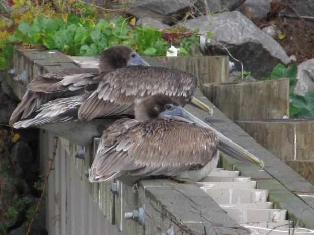 Pelicans hanging.