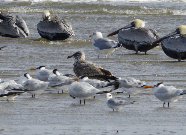 An oiled herring gull.