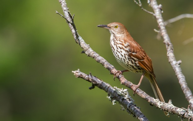 Brown Thrasher on branch