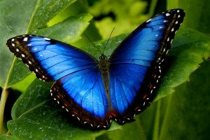 Jeff Thomson blue-morpho